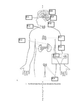 A&P Anatomy Endocrine System Quiz with Key College Lab