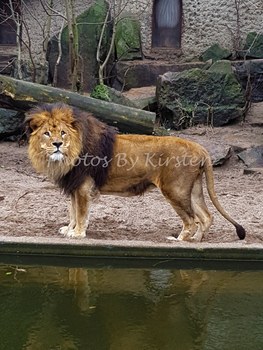 A Stock Photo of a Lion