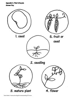 No prep: A Plant's Lifecycle: Hand-drawn Diagrams and Worksheets