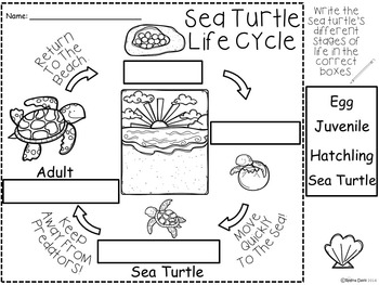 A+ Sea Turtle Life Cycle Labeling & Word Wall
