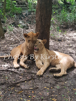 A Stock Photo of Lion Cubs