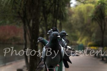 A Stock Photo of Pigeon Bird