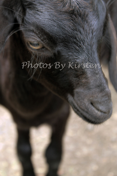 A Stock Photo of a Black Goat Close Up