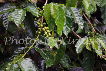 A Stock Photo of a Coffee Plant