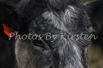 A Stock Photo of a Cow