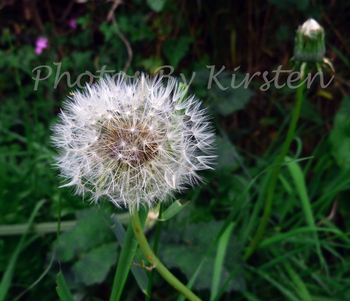 A Stock Photo of a Dandelion