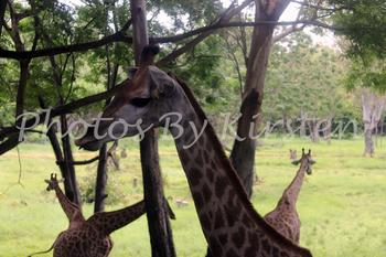 A Stock Photo of a Giraffe