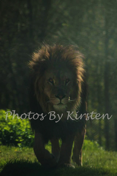 A Stock Photo of a Male Lion