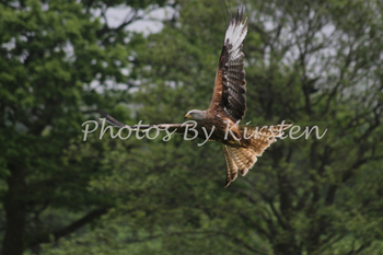 A Stock Photo of a Red Kite Eagle Bird