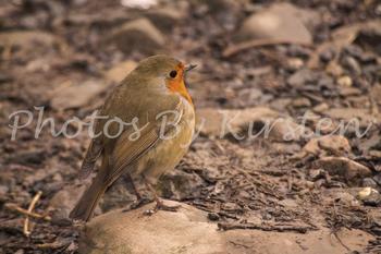 A Stock Photo of a Robin Bird