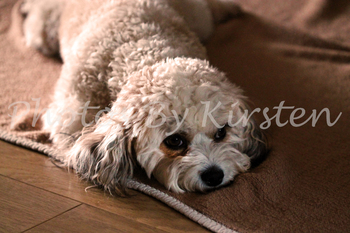 A Stock Photo of a White Dog on a Blanket