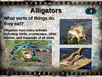 ALLIGATORS: 10 facts. Fun, engaging PPT (w links & free graphic organizer)