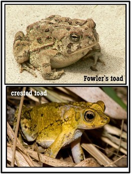 Amphibians - Characteristics of Animals Leson Plan, Photos, Poster