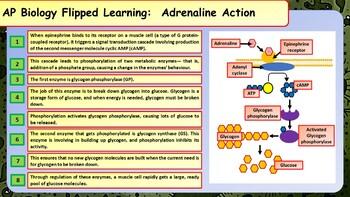 AP Biology Hormonal Control Summary Sheets