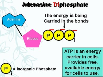 AP Biology Introduction to Metabolic Pathways and ATP