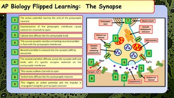 AP Biology Nervous System Summary Sheets