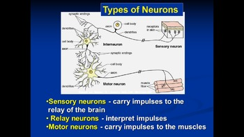 AP Biology Review - Nerves and the action potential -ppts, assessments and ms