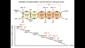 AP Biology Review - Respiration ppts and test papers with