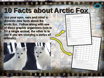 Arctic Fox 10 Facts Fun Engaging Ppt W Links Amp Free