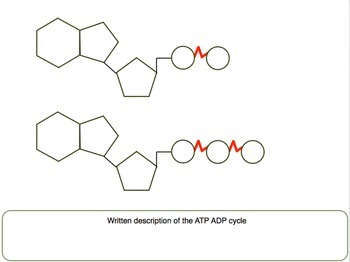 ATP ADP Cycle Label Activity/Printable