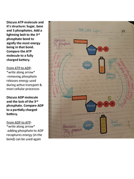 ATP / ADP Cycle Notes & Worksheet for Interactive Notebooks