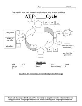 ATP ADP Cycle Worksheet