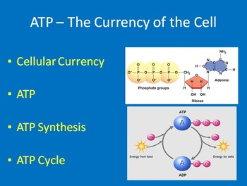 ATP: The Currency of the Cell - Biology PowerPoint Lesson and Notes