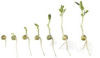 Abiotic Factors of Growth (Mung Bean Lab Activity)