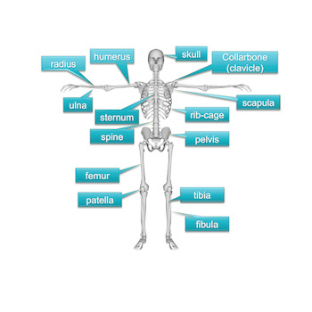 The Skeletal System Powerpoint - Editable