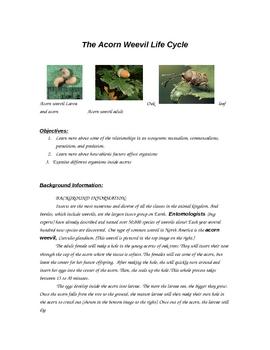 Acorn Weevil and Inter-species relationship