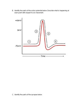 Action Potential Analogy for Anatomy with Key synapse, EPSP, IPSP, nerves