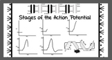 Action Potential Graphic Organizer
