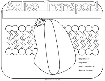 Active Transport Coloring Worksheet 9 Differentiated Versions Included