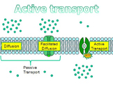 Active Transport PowerPoint