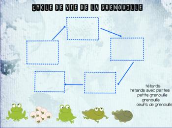 Activité TBI sur le cycle de la grenouille