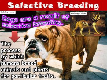 Adaptations, Natural Selection, Selective Breeding