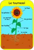 Affiches sur le cycle de vie du tournesol