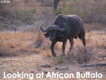 African Animals: African Buffalo - PDF presentation