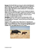 African Buffalo - informational article lesson facts quest