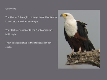 African Fish Eagle Power Point - Information Facts Pictures