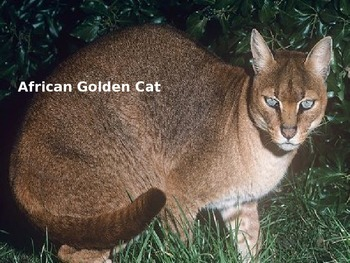 African Golden Cat - Power Point Information Facts Pictures