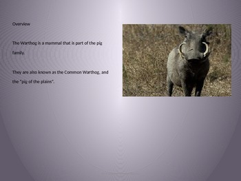 African Warthog - Power Point - Information Facts Pictures