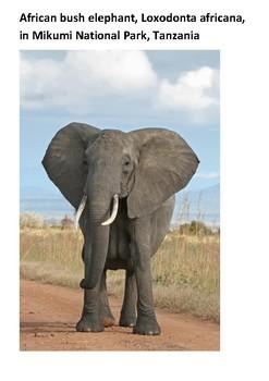 African elephants Handout