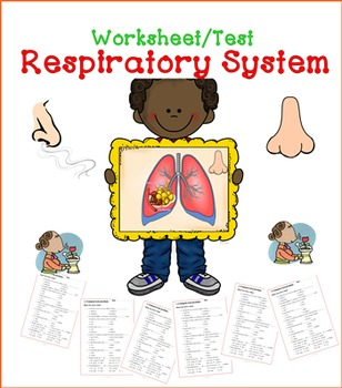 Respiratory System Worksheet / Exercise