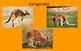 All About Kangaroos