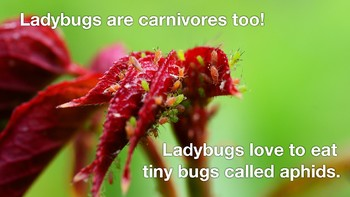 All About Ladybugs Minibook