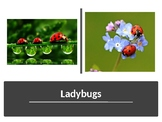 All About Ladybugs PowerPoint Presentation
