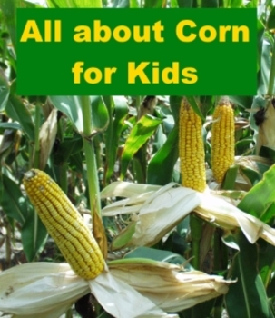 All about Corn for Kids