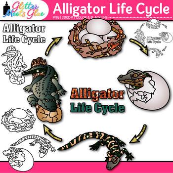 Alligator Life Cycle Clip Art {Teach Animal Groups, Habita