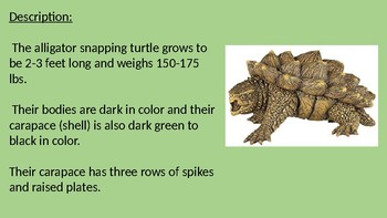 Alligator Snapping Turtle - Power Point - information facts pictures